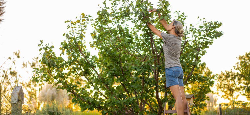 Frau schneidet im Garten Blätter vom Baum