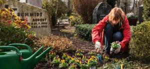 Grabpflege: Diese Pflichten gelten für Erben. Eine Frau pflanzt Stiefmütterchen auf ein Grab.